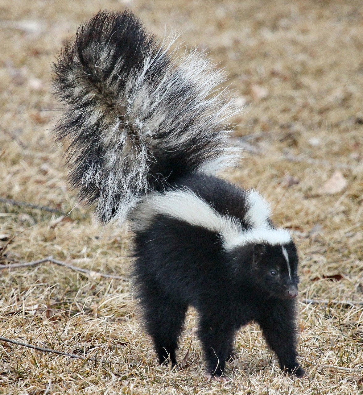 skunk damage insurance